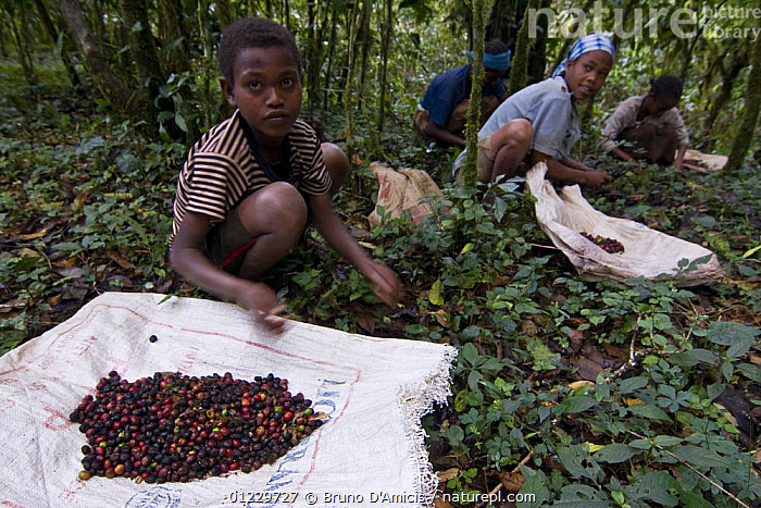 Indigenous people collect low-quality Wild coffee (Coffea arabica) beans fallen from trees after storm in the forest of Mankira,  Kaffa, Southern Ethiopia, East Africa December 2008, CHILDREN,CROPS,DICOTYLEDONS,EAST AFRICA,ETHIOPIA,FOUR,FRUIT,PEOPLE,PLANTS,RUBIACEAE,Africa, Bruno D'Amicis