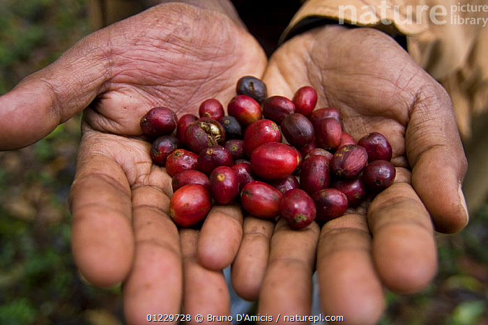 A handful of ripe Wild coffee (Coffea arabica) beans in the forest of Mankira,  Kaffa, Southern Ethiopia, East Africa December 2008, CLOSE UPS,CROPS,DICOTYLEDONS,EAST AFRICA,ETHIOPIA,FRUIT,HANDS,PEOPLE,PLANTS,RUBIACEAE,Africa, Bruno D'Amicis