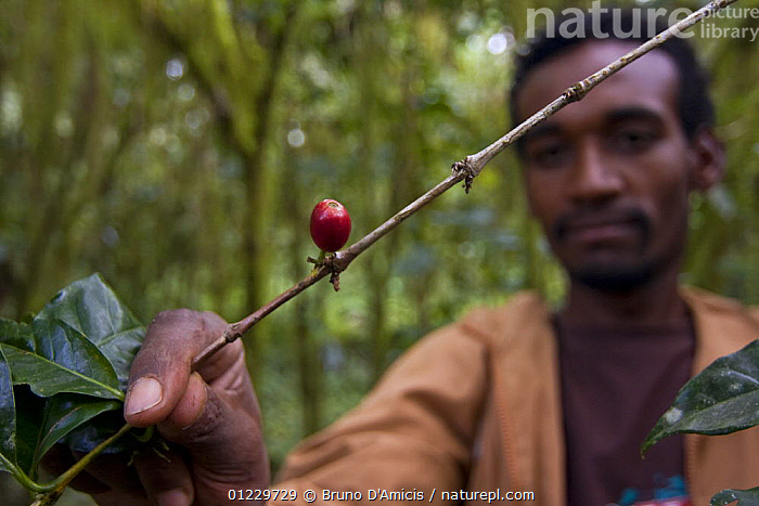 Man examines Wild coffee (Coffea arabica) beans in the forest of Mankira,  Kaffa, Southern Ethiopia, East Africa December 2008, CROPS,DICOTYLEDONS,EAST AFRICA,ETHIOPIA,FRUIT,MAN,PEOPLE,PLANTS,RUBIACEAE,Africa, Bruno D'Amicis