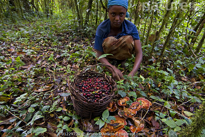 Girl collects low-quality Wild coffee (Coffea arabica) beans fallen from trees after storm in the forest of Mankira,  Kaffa, Southern Ethiopia, East Africa December 2008, CHILDREN, CROPS, DICOTYLEDONS, EAST-AFRICA, Ethiopia, FRUIT, FUNGI, mushrooms, PEOPLE, RUBIACEAE,Africa,Plants, Bruno D'Amicis