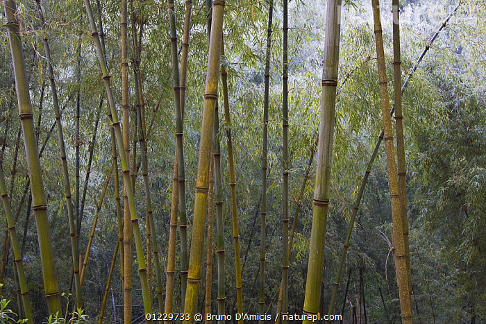 Solid-stemmed / African bamboo forest (Oxytenanthera abyssinica) Kaffa zone, Southern Ethiopia, East Africa December 2008, EAST AFRICA,ETHIOPIA,GRAMINEAE,GRASSES,LANDSCAPES,MONOCOTYLEDONS,PLANTS,STEMS,TRUNKS,Africa, Bruno D'Amicis