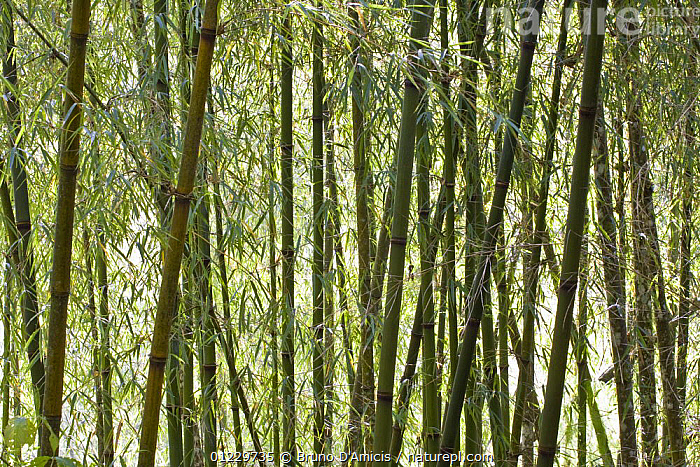Solid-stemmed / African bamboo forest (Oxytenanthera abyssinica) Kaffa zone, Southern Ethiopia, East Africa December 2008, EAST AFRICA,ETHIOPIA,GRAMINEAE,GRASSES,LEAVES,MONOCOTYLEDONS,PLANTS,STEMS,TRUNKS,Africa, Bruno D'Amicis