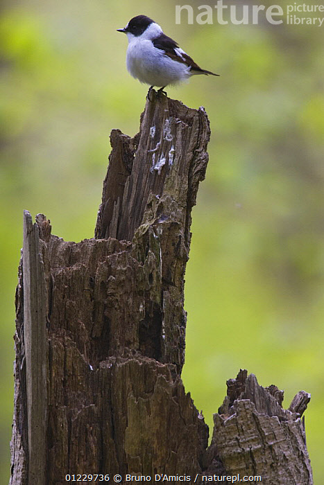 Collared flycatcher (Ficedula albicollis) adult male on tree stump, Eastern Slovakia, BIRDS,EASTERN EUROPE,EUROPE,FLYCATCHERS,MALES,SLOVAKIA,VERTEBRATES,VERTICAL, Bruno D'Amicis