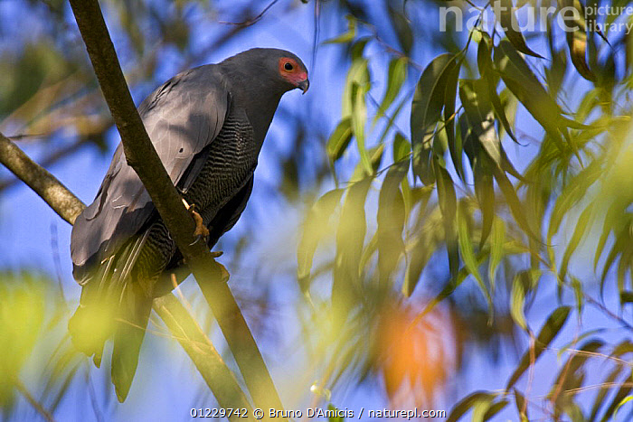 African harrier hawk / Gymnogene (Polyboroides typus) adult bird showing red facial skin due to excitement, Kaffa, Southern Ethiopia, East Africa December 2008, BEHAVIOUR,BIRDS,BIRDS OF PREY,EAST AFRICA,ETHIOPIA,HARRIERS,LEAVES,VERTEBRATES,Africa, Bruno D'Amicis