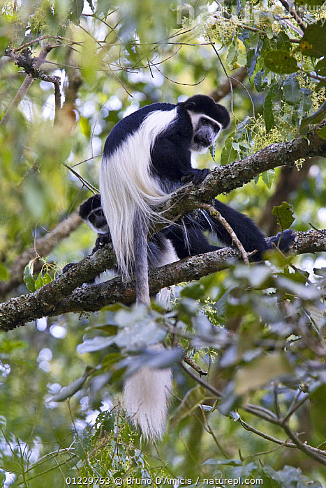 Black and white colobus / Guereza monkeys (Colobus guereza) adult and young among foliage, Kaffa Zone, Southern Ethiopia, East Africa December 2008, BEHAVIOUR,COLOBUS MONKEYS,EAST AFRICA,ETHIOPIA,JUVENILE,MAMMALS,MONKEYS,PRIMATES,TWO,VERTEBRATES,VERTICAL,Africa, Bruno D'Amicis