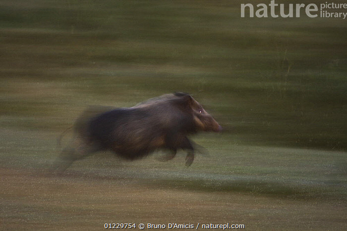 Bush pig / Red Riverine hog (Potamocherus larvatus) running, Kaffa zone, Southern Ethiopia, East Africa December 2008, ACTION,ARTIODACTYLA,BLURRED,BUSHPIGS,EAST AFRICA,ETHIOPIA,MAMMALS,MOVEMENT,SUIDS,VERTEBRATES,Africa, Bruno D'Amicis