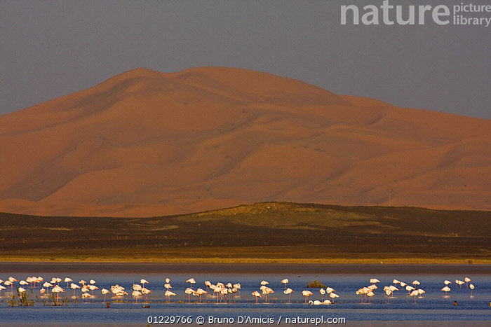 Greater flamingoes (Phoenicopterus ruber) and Ruddy shelducks (Tadorna ferruginea) in the temporary lake at the foothills of the Erg Chebbi, Merzouga, Morocco, NW Africa December 2008, BIRDS,DUCKS,FLAMINGOS,FLOCKS,GROUPS,LAKES,LANDSCAPES,MIXED SPECIES,MOROCCO,NORTH AFRICA,VERTEBRATES,WATER,WATERFOWL,Africa, Bruno D'Amicis