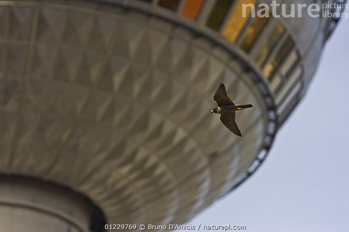 Peregrine falcon (Falco peregrinus) adult female flying against the TV tower of Alexanderplatz in the center of Berlin, Germany, BIRDS,BIRDS OF PREY,BUILDINGS,EUROPE,FALCONS,FEMALES,FLYING,GERMANY,VERTEBRATES,Catalogue1, Bruno D'Amicis