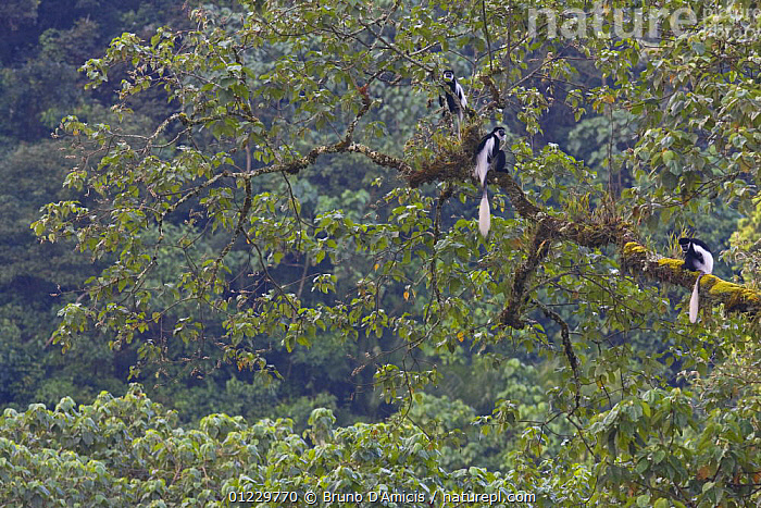 Black and white colobus / Guereza monkeys (Colobus guereza) sitting on Fig (Ficus sp.) tree in forest canopy, Kaffa Zone, Southern Ethiopia, East Africa December 2008, COLOBUS MONKEYS,EAST AFRICA,ETHIOPIA,FORESTS,HABITAT,MAMMALS,MONKEYS,PRIMATES,THREE,TREES,VERTEBRATES,Africa,PLANTS, Bruno D'Amicis