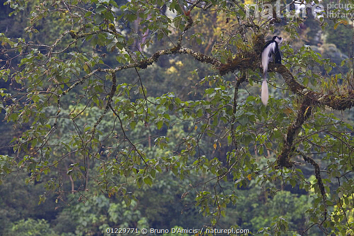 Black and white colobus / Guereza monkey (Colobus guereza) sitting on Fig (Ficus sp.) tree in forest canopy, Kaffa Zone, Southern Ethiopia, East Africa December 2008, COLOBUS MONKEYS,EAST AFRICA,ETHIOPIA,FORESTS,HABITAT,MAMMALS,MONKEYS,PRIMATES,TAILS,TREES,VERTEBRATES,Africa,PLANTS, Bruno D'Amicis