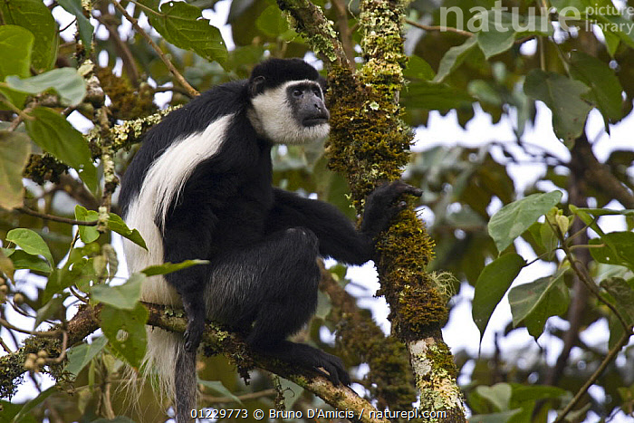Black and white colobus / Guereza monkey (Colobus guereza) adult male among Fig (Ficus sp.) foliage, Kaffa Zone, Southern Ethiopia, East Africa December 2008, COLOBUS MONKEYS,EAST AFRICA,ETHIOPIA,HUMOROUS,MALES,MAMMALS,MONKEYS,PRIMATES,SITTING,VERTEBRATES,Africa,Concepts, Bruno D'Amicis