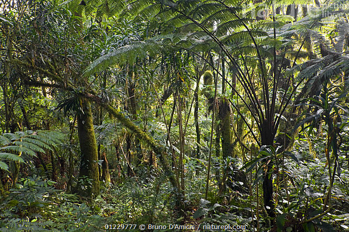 Dense vegetation with giant ferns and dracaenas (Dracaena afromontana) in Afromontane cloud forest, Koma forest, Bonga, Kaffa Zone, Southern Ethiopia, East Africa December 2008, AGAVACEAE,CLOUD FOREST,EAST AFRICA,ETHIOPIA,FERNS,FORESTS,GREEN,LEAVES,PLANTS,TREES,Africa, Bruno D'Amicis