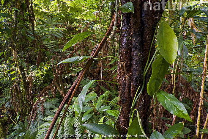 Dense vegetation in old-growth Afromontane cloud forest, Kaffa Zone, Southern Ethiopia, East Africa December 2008, AFRICA,CLOUD FOREST,EAST AFRICA,FERNS,FORESTS,LEAVES,PLANTS,TREES,Catalogue1, Bruno D'Amicis