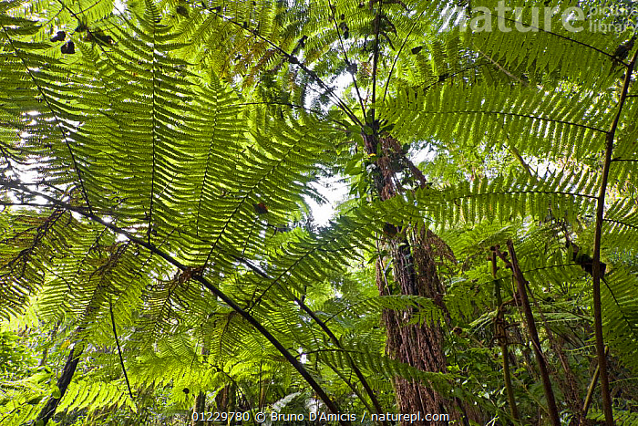 Looking up at giant fern foliage in Afromontane cloud forest, Koma forest, Bonga, Kaffa Zone, Southern Ethiopia, East Africa December 2008, AFRICA,CLOUD FOREST,EAST AFRICA,FERNS,FORESTS,LEAVES,LOW ANGLE SHOT,PLANTS,PTERIDOPHYTES, Bruno D'Amicis