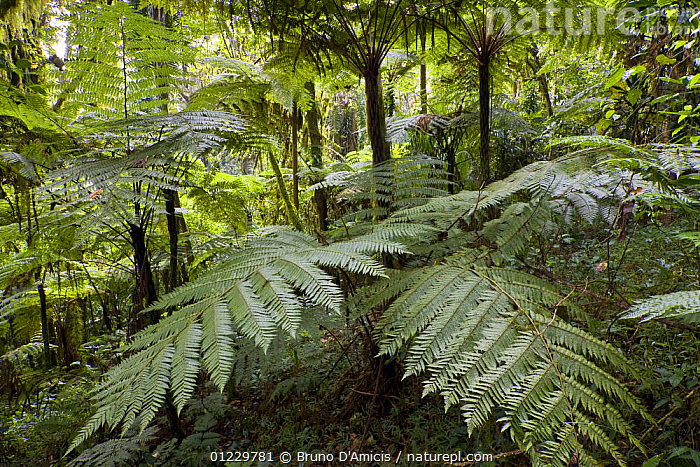 Giant ferns in Afromontane cloud forest, Koma forest, Bonga, Kaffa Zone, Southern Ethiopia, East Africa December 2008, AFRICA,CLOUD FOREST,EAST AFRICA,FORESTS,LEAVES,PLANTS,PTERIDOPHYTES, Bruno D'Amicis