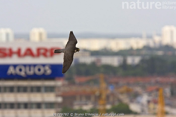 Peregrine falcon (Falco peregrinus) adult female flying over the center of Berlin, Germany, BIRDS,BIRDS OF PREY,BUILDINGS,CITIES,CUTOUT,EUROPE,FALCONS,FEMALES,FLYING,GERMANY,VERTEBRATES, Bruno D'Amicis