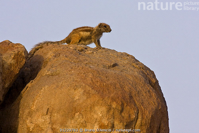 Barbary ground squirrel (Atlantoxerus getulus) on boulder, Draa valley, Southern Morocco, NW Africa, MAMMALS,MOROCCO,NORTH AFRICA,PROFILE,ROCKS,RODENTS,VERTEBRATES,XERUS,Africa, Bruno D'Amicis