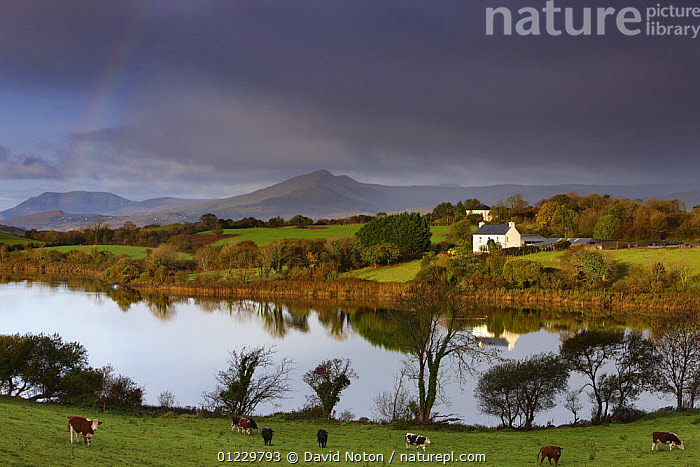 Dawn over Bantry Bay, with a rainbow nr Bantry, County Cork, Ireland, October 2008, ATMOSPHERIC,BUILDINGS,CALM,CATTLE,COASTS,COUNTRYSIDE,COWS,DAWN,EUROPE,FARMLAND,IRELAND,LANDSCAPE,LANDSCAPES,LIVESTOCK,PEACEFUL,REFLECTIONS,WATER,Concepts, David Noton