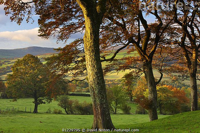 Autumn colours near Capel Garmon, Snowdonia National Park, Gwynedd, North Wales, UK, October 2008, AUTUMN,COUNTRYSIDE,EUROPE,FARMLAND,LANDSCAPES,NP,PEACEFUL,RESERVE,TREES,WALES,National Park,Concepts,PLANTS, United Kingdom, David Noton