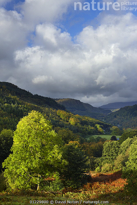 The Conway Valley, Snowdonia, Conwy, North Wales, UK, October 2008, CONWAY,COUNTRYSIDE,EUROPE,LANDSCAPES,TREES,VERTICAL,WALES,PLANTS, United Kingdom, David Noton