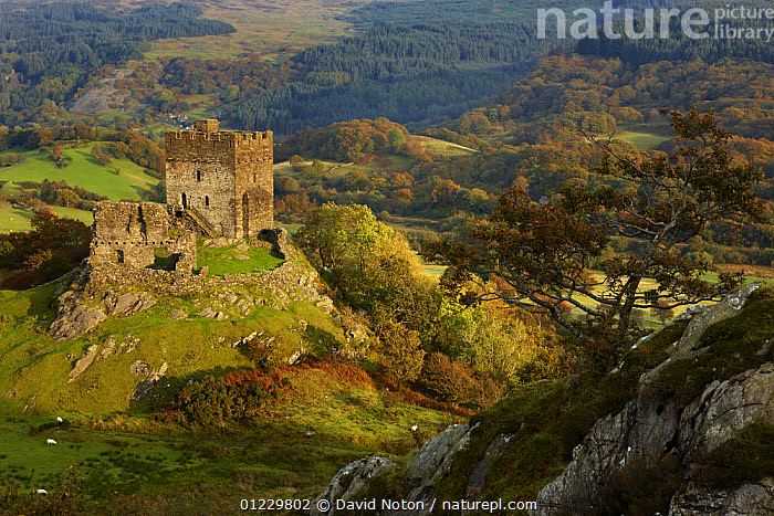 Looking down on Dolwyddelan Castle, Dolwyddelan, nr Betws y Coed, Snowdonia National Park, Conwy, North Wales, UK, October 2008, AERIALS,BUILDINGS,CASTLES,COUNTRYSIDE,EUROPE,LANDSCAPES,RUINS,UK,WALES, United Kingdom, David Noton