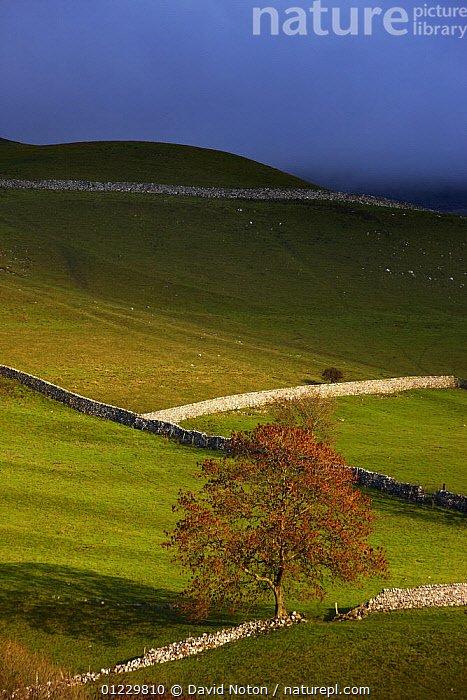 Stone walls and barns nr Kettlewell, Wharfedale, Yorkshire Dales National Park, England, UK, October 2008, COUNTRYSIDE,ENGLAND,EUROPE,FARMLAND,LANDSCAPES,NP,RESERVE,UK,VERTICAL,National Park, United Kingdom, David Noton