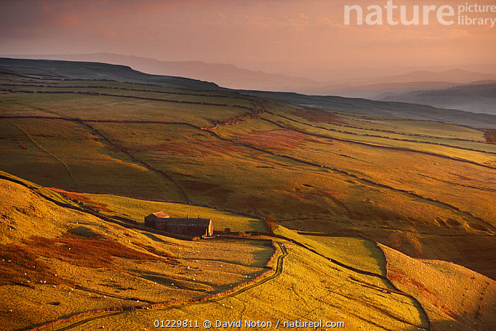 Evening light on the stone walls and a farms of Wharfedale, nr Kettlewell, Yorkshire Dales National Park, England, UK, October 2008, COUNTRYSIDE,DUSK,ENGLAND,EUROPE,LANDSCAPES,MOORLAND,NP,RESERVE,UK,National Park, United Kingdom, David Noton