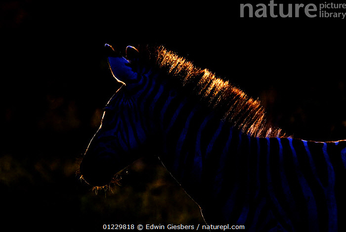 Common zebra (Equus quagga) silhouetted with light from behind, Tanzania, EAST AFRICA,MAMMALS,NIGHT,PERISSODACTYLA,SILHOUETTES,STRIPES,TANZANIA,VERTEBRATES,ZEBRAS,Africa,Equines,Catalogue1, Edwin Giesbers