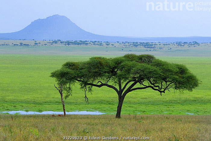 Tarangire National Park with volcanic mountain in background, Tanzania, AFRICA,EAST AFRICA,GRASSLAND,LANDSCAPES,MOUNTAINS,NP,RESERVE,SAVANNA,TREES,National Park,PLANTS, Edwin Giesbers