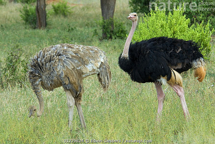 Ostrich (Struthio camelus) pair, male on right, Tanzania, BIRDS,EAST AFRICA,FEEDING,FLIGHTLESS BIRDS,GRASSLAND,MALE FEMALE PAIR,OSTRICHES,TANZANIA,VERTEBRATES,Africa, Edwin Giesbers