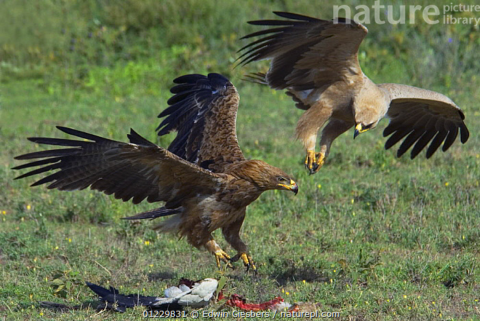 Two Tawny eagles (Aquila rapax) fighting over bird carcass, Tanzania, BEHAVIOUR,BIRDS,BIRDS OF PREY,EAGLES,EAST AFRICA,FEATHERS,FEEDING,FLYING,LANDING,TANZANIA,TWO,VERTEBRATES,WINGS,Africa,Raptor, Edwin Giesbers