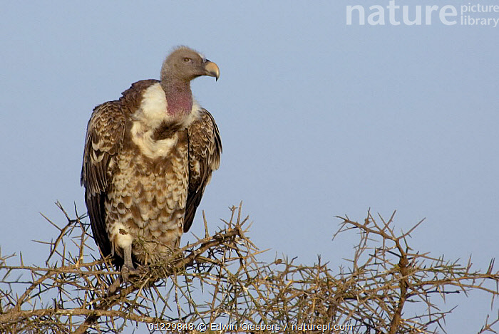 Ruppell's Vulture (Gyps rueppellii) portrait, Tanzania, BIRDS,EAST AFRICA,PORTRAITS,SPINES,TANZANIA,TREES,VERTEBRATES,VULTURES,Africa,PLANTS, Edwin Giesbers