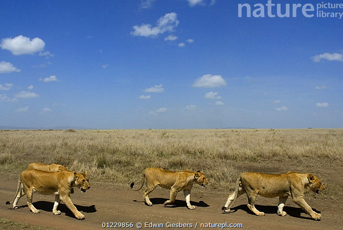 Four African lions (Panthera leo) walking along a track, Serengeti NP,Tanzania, BIG CATS,CARNIVORES,EAST AFRICA,FOUR,GRASSLAND,GROUPS,LIONS,MAMMALS,NP,RESERVE,ROADS,TANZANIA,VERTEBRATES,Africa,National Park,,Serengeti National Park, UNESCO World Heritage Site,, Edwin Giesbers