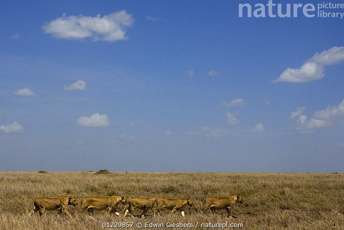 Pride of African lions (Panthera leo) walking in a line, Serengeti NP, Tanzania, BIG CATS,CAMOUFLAGE,CARNIVORES,EAST AFRICA,FIVE,GRASSLAND,GROUPS,LIONS,MAMMALS,TANZANIA,VERTEBRATES,Africa,,Serengeti National Park, UNESCO World Heritage Site,, Edwin Giesbers