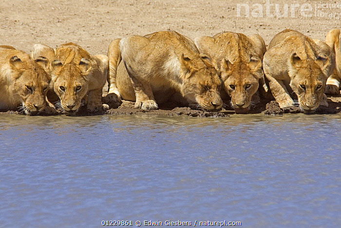 Pride of African lions (Panthera leo) drinking, Serengeti NP, Tanzania, BIG CATS,CARNIVORES,DRINKING,EAST AFRICA,FIVE,GROUPS,LIONS,MAMMALS,NP,RESERVE,TANZANIA,VERTEBRATES,WATER,Africa,National Park,,Serengeti National Park, UNESCO World Heritage Site,, Edwin Giesbers
