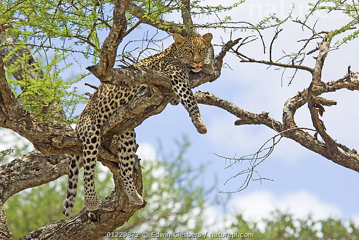 Leopard (Panthera pardus) resting in tree, Tanzania, BEHAVIOUR,BIG CATS,CARNIVORES,EAST AFRICA,LEOPARDS,LOW ANGLE SHOT,MAMMALS,NP,RESERVE,TANZANIA,TREES,VERTEBRATES,Africa,National Park,PLANTS, Edwin Giesbers