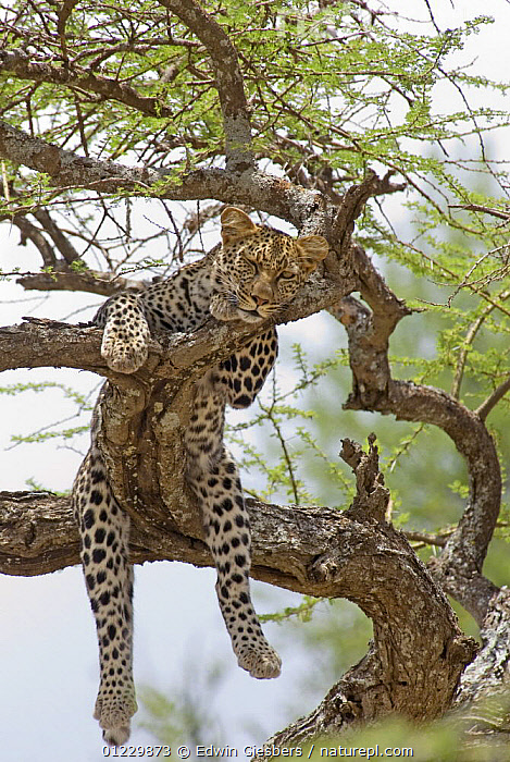 Leopard (Panthera pardus) resting in tree, Tanzania, BIG CATS,CARNIVORES,EAST AFRICA,HUMOROUS,LEOPARDS,LOW ANGLE SHOT,MAMMALS,NP,RESERVE,SLEEPING,TANZANIA,TREES,VERTEBRATES,VERTICAL,Africa,Concepts,National Park,PLANTS, Edwin Giesbers