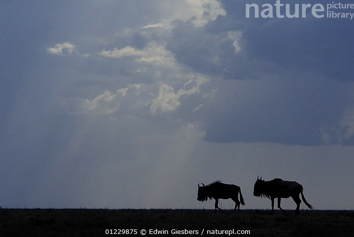 Two Wildebeest (Connochaetes taurinus) silhouetted, Tanzania, ARTIODACTYLA,BOVIDS,CLOUDS,EAST AFRICA,MAMMALS,NP,RESERVE,SILHOUETTES,TANZANIA,TWO,VERTEBRATES,WILDEBEESTS,Weather,Africa,National Park,Antelopes, Edwin Giesbers