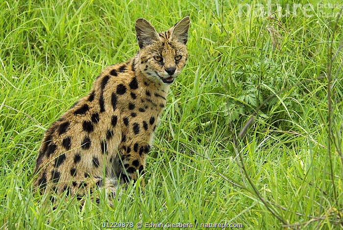 Serval (Felis serval) portrait, Tanzania, CARNIVORES,CATS,EAST AFRICA,MAMMALS,NP,PORTRAITS,RESERVE,SITTING,TANZANIA,VERTEBRATES,Africa,National Park, Edwin Giesbers