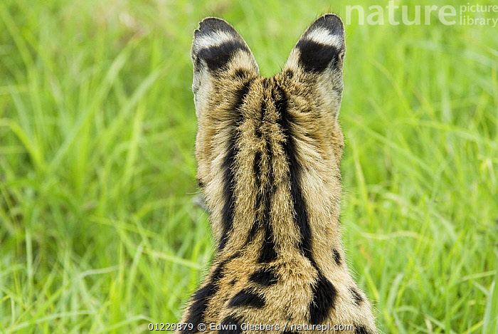 Serval (Felis serval) rear view of head and ears,  Tanzania, CARNIVORES,CATS,CRYPTIC,EARS,EAST AFRICA,MAMMALS,NP,RESERVE,SPOTS,STRIPES,TANZANIA,VERTEBRATES,Africa,National Park, Edwin Giesbers