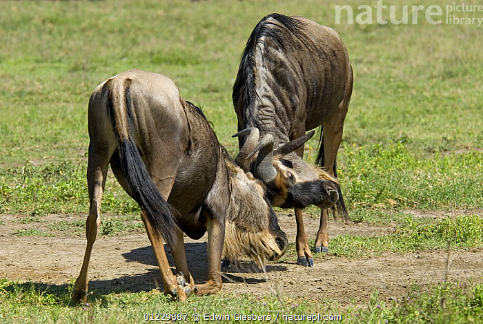 Wildebeest (Connochaetes taurinus) fighting, Tanzania, AGGRESSION,ARTIODACTYLA,BEHAVIOUR,BOVIDS,EAST AFRICA,FIGHTING,MALES,MAMMALS,NP,RESERVE,TANZANIA,TWO,VERTEBRATES,WILDEBEESTS,Concepts,Africa,National Park,Antelopes, Edwin Giesbers