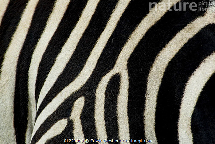 Common zebra (Equus quagga) close-up showing stripes, Tanzania, BLACK AND WHITE,CLOSE UPS,CRYPTIC,EAST AFRICA,HAIR,MAMMALS,NP,PATTERNS,PERISSODACTYLA,RESERVE,SKIN,STRIPES,TANZANIA,VERTEBRATES,ZEBRAS,Africa,National Park,Equines,Catalogue1, Edwin Giesbers