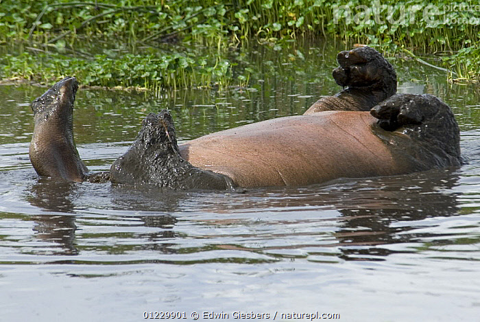 Hippopotamus (Hippopotamus amphibius) rolling on back playing in water, Tanzania, ARTIODACTYLA,BEHAVIOUR,EAST AFRICA,FEET,HIPPOPOTAMUSES,HUMOROUS,LEGS,MAMMALS,PLAY,ROLLING,SURFACE,TANZANIA,VERTEBRATES,WATER,Africa,Concepts,Communication, Edwin Giesbers