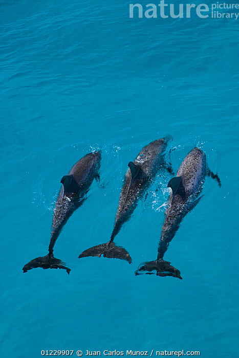 Looking down on Atlantic spotted dolphin {Stenella frontalis} at surface, Bahamas, Caribbean, CARIBBEAN,CETACEANS,DOLPHINS,GROUPS,HIGH ANGLE SHOT,MAMMALS,MARINE,THREE,TROPICAL,VERTEBRATES,VERTICAL,West Indies,Catalogue1, Juan Carlos Munoz