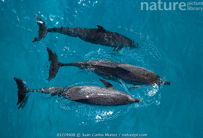 Looking down on Atlantic spotted dolphin {Stenella frontalis} at surface, Bahamas, Caribbean, CARIBBEAN,CETACEANS,DOLPHINS,GROUPS,HIGH ANGLE SHOT,MAMMALS,MARINE,THREE,TROPICAL,VERTEBRATES,West Indies, Juan Carlos Munoz