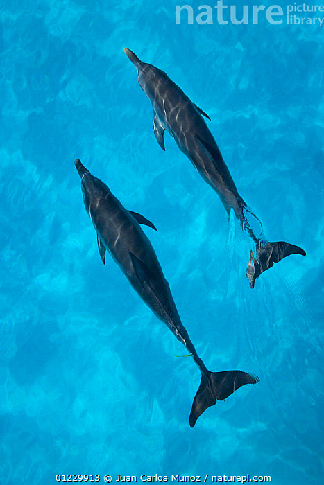 Looking down on Atlantic spotted dolphin {Stenella frontalis} at surface, Bahamas, Caribbean, BLUE,CARIBBEAN,CETACEANS,DOLPHINS,HIGH ANGLE SHOT,MAMMALS,MARINE,TROPICAL,TWO,VERTEBRATES,VERTICAL,West Indies, Juan Carlos Munoz