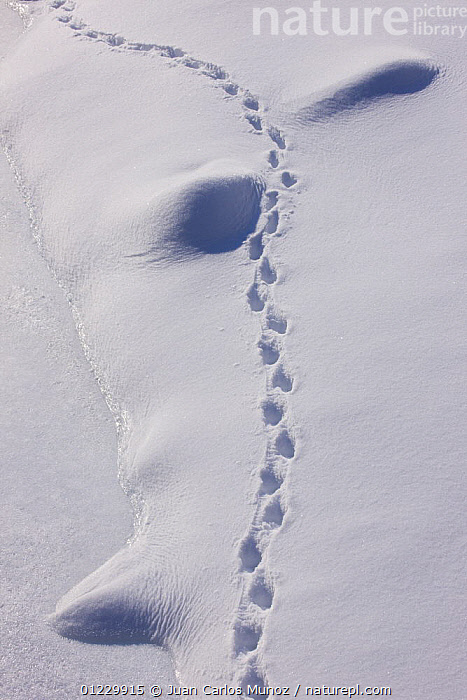 Chamois {Rupicapra rupicapra} tracks in the snow, Gran Paradiso NP, Valnontey, Aosta valley, Italian alps., ARTIODACTYLA,EUROPE,FOOTPRINTS,GOATS,ITALY,MAMMALS,MOUNTAINS,NP,RESERVE,SNOW,TRACKS,VERTEBRATES,VERTICAL,WINTER,National Park, Juan Carlos Munoz