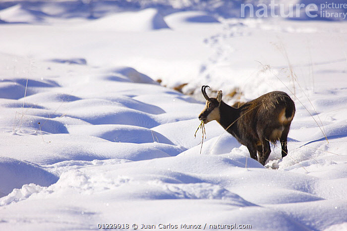 Chamois {Rupicapra rupicapra} grazing through the snow, Gran Paradiso NP, Valnontey, Aosta valley, Italian alps., ALPS,ARTIODACTYLA,EUROPE,FEEDING,GOATS,ITALY,MAMMALS,MOUNTAINS,NP,RESERVE,SNOW,VERTEBRATES,WINTER,National Park, Juan Carlos Munoz