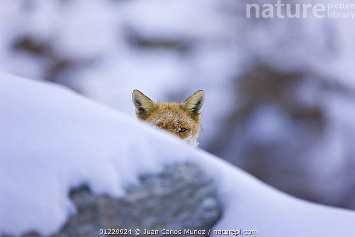 Red fox {Vulpes vulpes} behind snow, Gran Paradiso NP, Valsavarenche, Aosta valley, Italian alps, ALPS,CARNIVORES,EUROPE,FOXES,ITALY,MAMMALS,MOUNTAINS,NP,RESERVE,SNOW,VERTEBRATES,WINTER,National Park, Juan Carlos Munoz