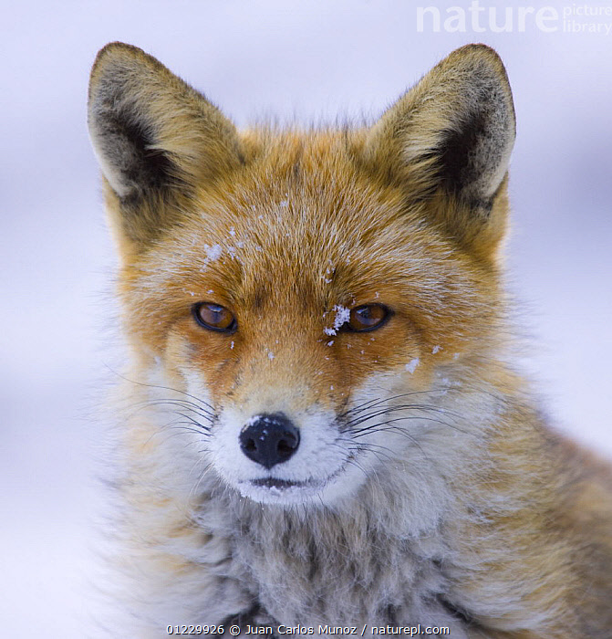 Red fox {Vulpes vulpes} portrait in snow, Gran Paradiso NP, Valsavarenche, Aosta valley, Italian alps, ALPS,CARNIVORES,EUROPE,FOXES,ITALY,MAMMALS,MOUNTAINS,NP,PORTRAITS,RESERVE,SNOW,VERTEBRATES,VERTICAL,WINTER,National Park, Juan Carlos Munoz